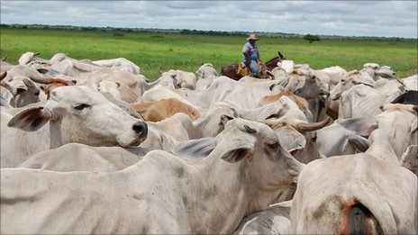 Cattle herding