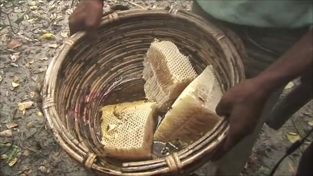 Honeycomb collected from Bangladesh's mangrove forests