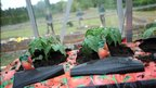 Tomato plants 