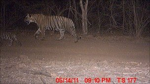 The adult male walks behind one of the cubs (Photo: Ranthambore forest department)
