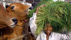 A boy carries grass to feed cattle