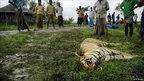 A dead Royal Bengal tiger slain by local residents lies in the grass