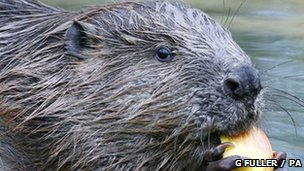 Beaver with food (c) Gareth Fuller / PA wire