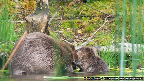 Beaver and kit (c) Steve Gardner / Scottish Wildlife Trust