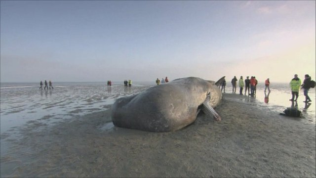 news local beached whale found myrtle beach