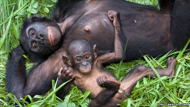 Bonobo mother with child (Tony Camacho/SPL)