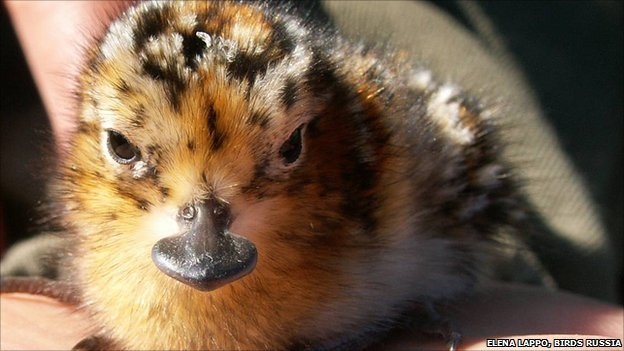 Spoon-billed sandpiper chick (image: Elena Lappo, Birds Russia)