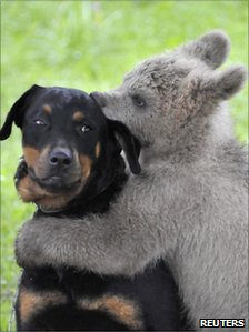 Lucky the bear cub hugs the Logar family dog in Podvrh, central Slovenia, 1 June