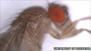 Fruit fly eye and body