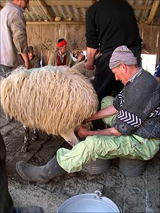 Sheep owner milking his ewe