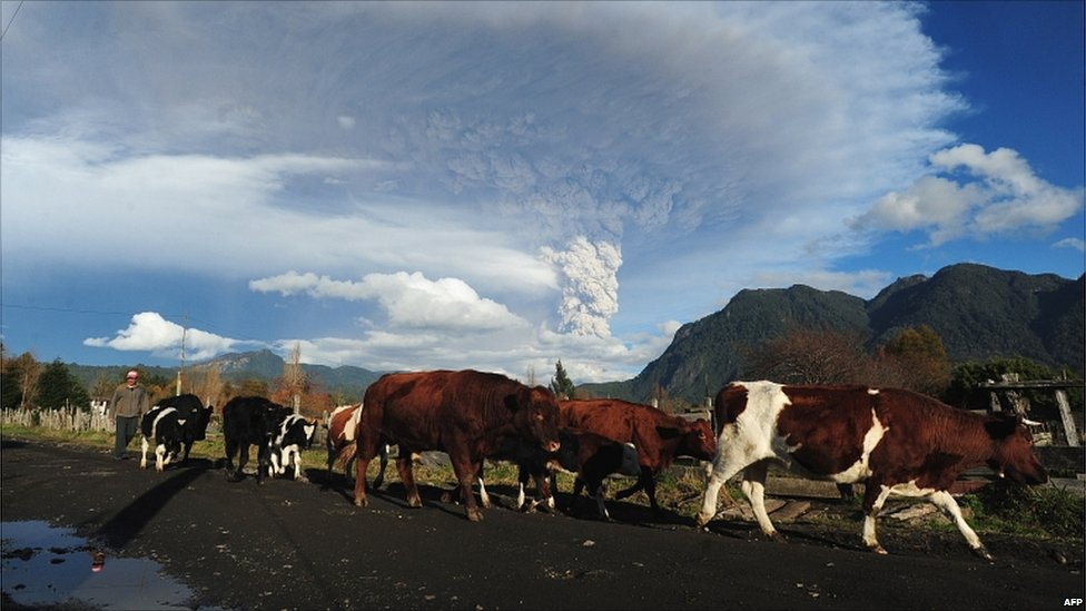 A shepherd walks with his cows in the village of Rininahue as a cloud of ash billows from Puyehue volcano on Sunday
