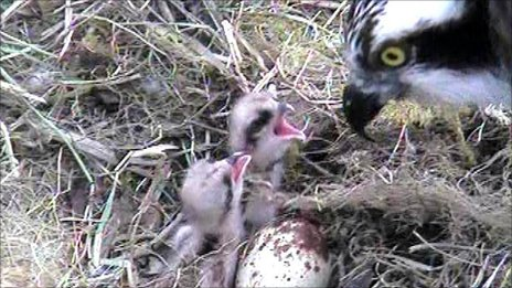 Two osprey chicks feeding