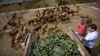 A farmer unloads discarded cucumbers to feed his goats in Algarrobo, near Malaga, Spain, 1 June 2011