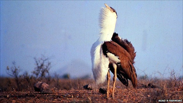 Great Indian bustard (Image: Asad R Rahmani)