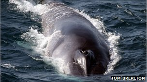 Fin whales seen by scientists 'lunge-feeding' near the surface of the water