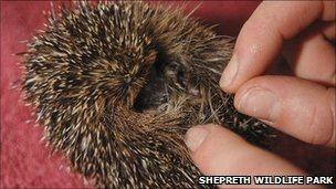 Underweight hedgehog