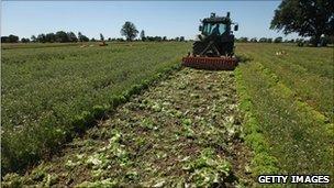 A German farmer near Hamburg ploughs  lettuce back into the soil, 4 June