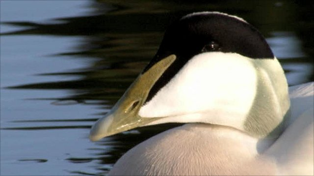 Eider duck in Amble harbour