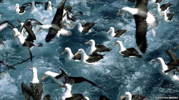 Albatrosses (Image: photolibrary.com)