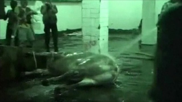 Picture of animal being hosed down on an abattoir floor