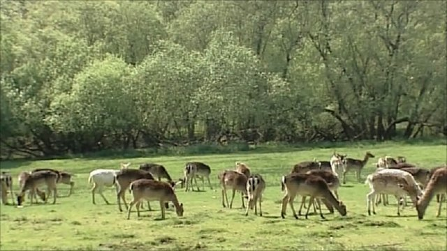 Deer grazing in woodland glade