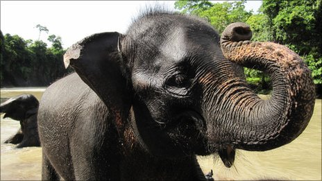 A baby elephant in northern Sumatra