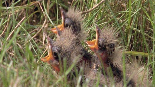 Skylark chicks