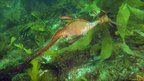 Seadragon in kelp (c) Keith Martin-Smith