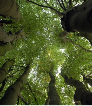 Multi-stemmed beech tree (Image: Emma Murtagh)