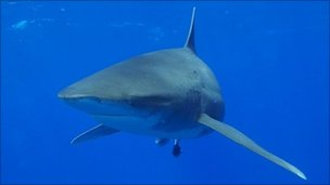 Oceanic whitetip shark. Pic: Andy Byatt