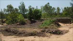 Betel vine plantations