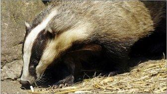 A badger, SPL