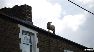 Sheep on roof