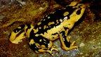 Atelopus patazensis (Image: Alessandro Catenazzi)