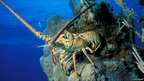 Caribbean Spiny Lobster (Panulirus argus)