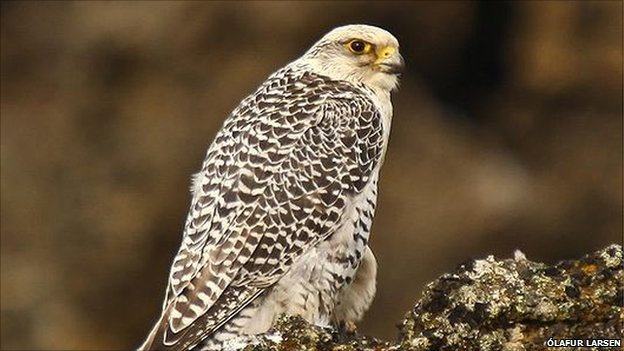 Gyrfalcon (image: lafur Larsen)