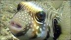 Cube boxfish