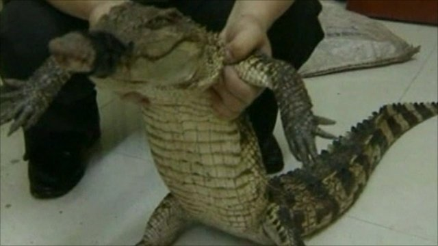 The alligator after his rescue from the bin