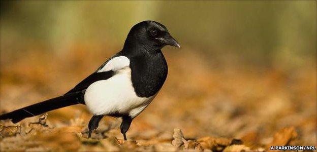 Magpie (Image: Andrew Parkinson/ Naturepl.com)