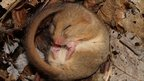 Dormouse (c) Hattie Spray