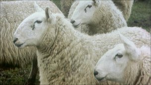 involved attacks on sheep