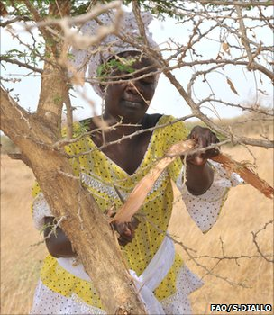 Extracting gum from an acacia tree (image: FAO/Sayllou Diallo)