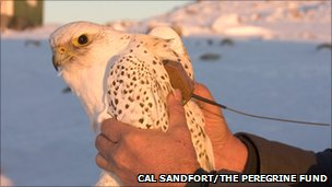 Adult male gyrfalcon tagged with satellite transmitter in Scoresbysund area, central-east Greenland