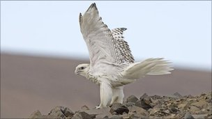 Gyrfalcon (image: Jack Stephens/High Arctic Institute)