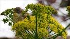 Whitethroat feeding on ferula (Image: Marzia Mirabile)