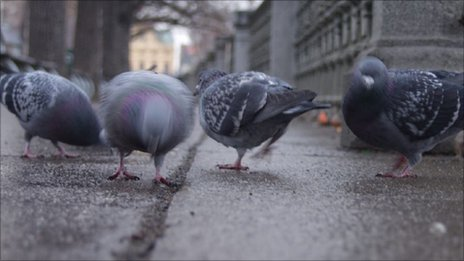 Pigeons in Prague (Image: BBC)