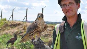 Peregrine falcon and Harris hawk