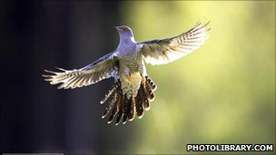 Common cuckoo (image: photolibrary.com)