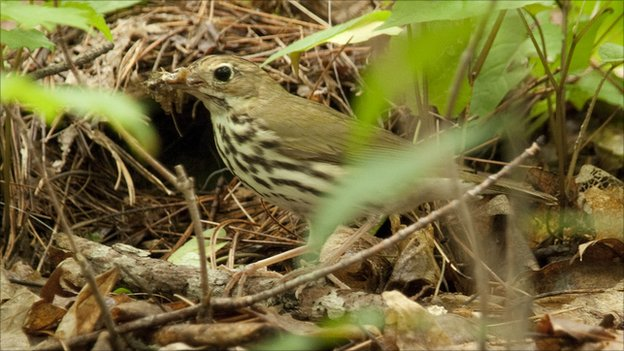 Ovenbird (c) Quinn Emmering
