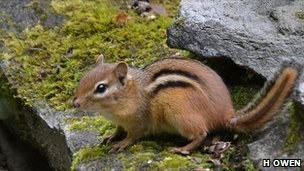 Chipmunk (c) Holly Owen